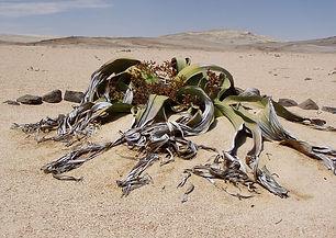 welwitschia-mirabillis-49479_640.jpg