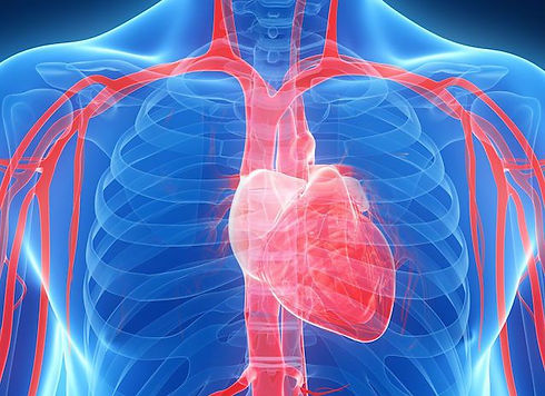 What-Are-the-Functions-of-the-Cardiovasc