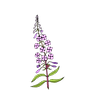 fireweed color.png