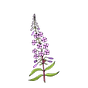 fireweed color DTime.png