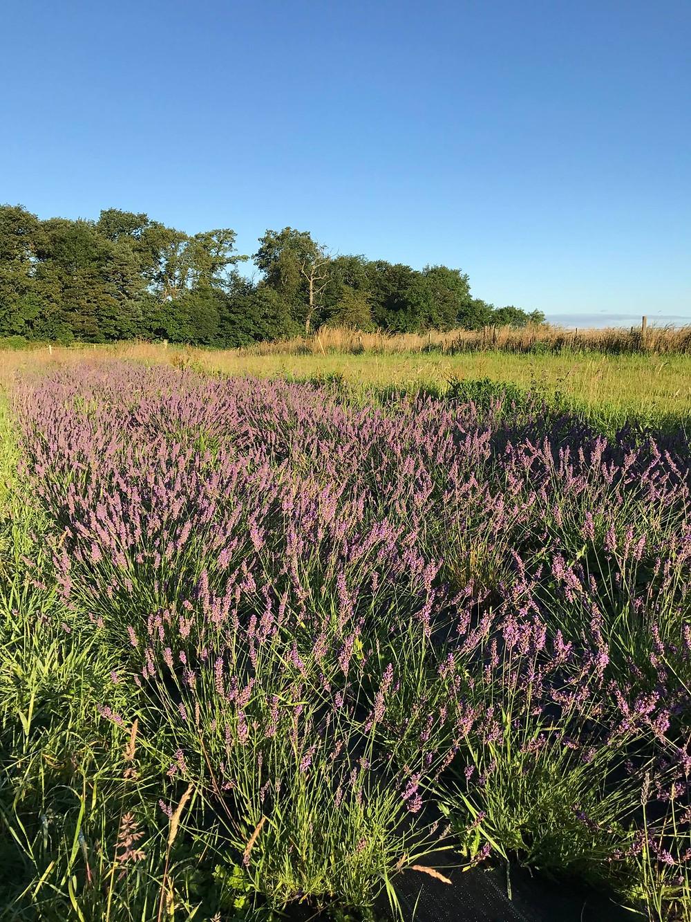 Lothian Lavender field in bloom 2017