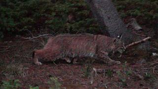 Resident Bobcat