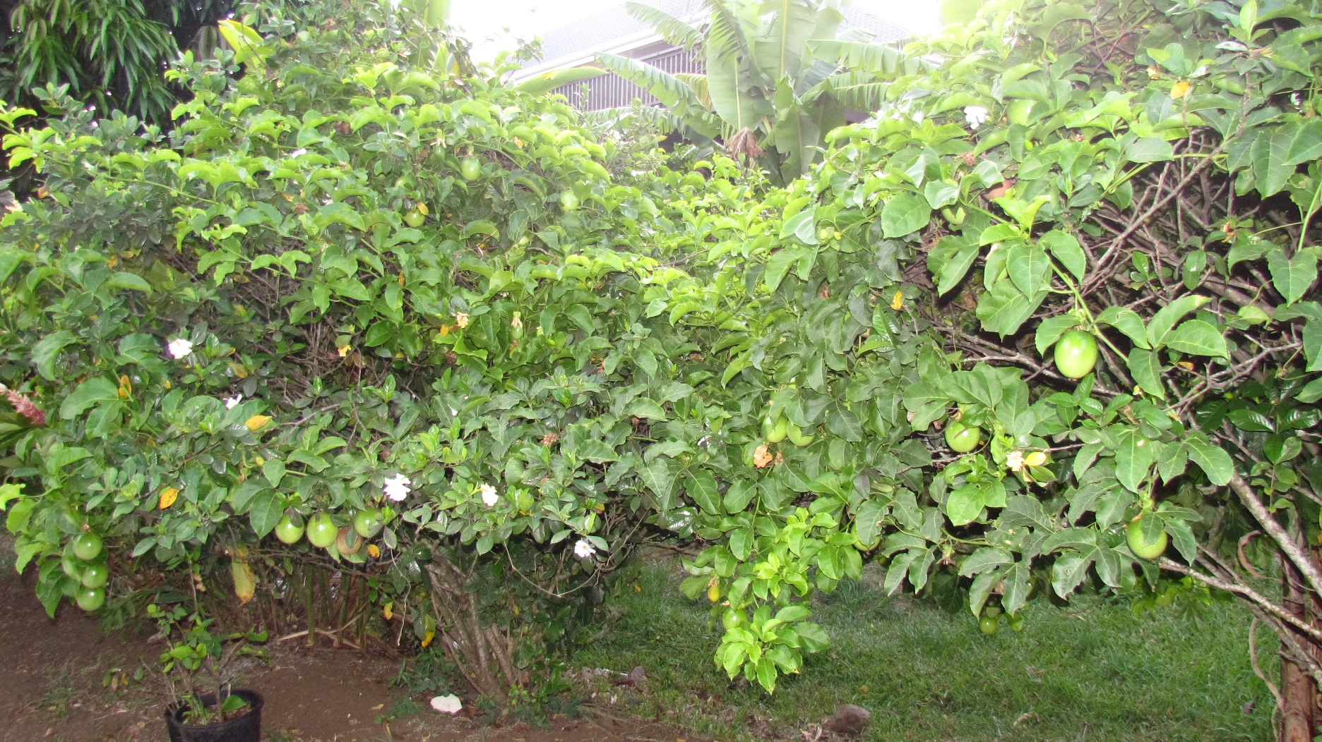 Passion Fruit in the yard