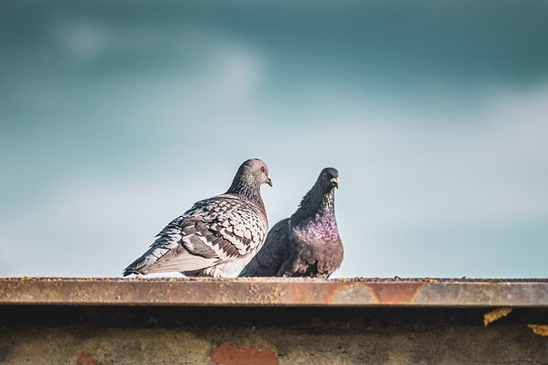 closeup-shot-two-stock-doves-standing-roof.jpg