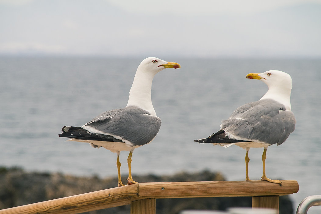 selective-focus-two-seagulls-perched-wooden-handrailing-near-shore(1).jpg