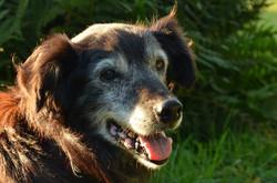 Hospice Dog 1