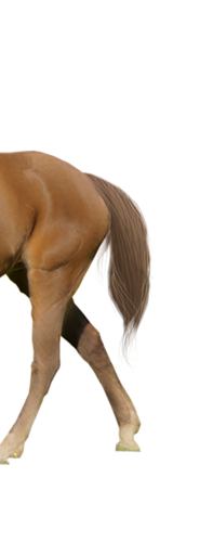 kisspng-tennessee-walking-horse-appaloos