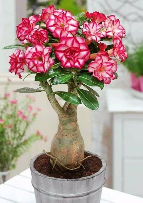 Rosa do deserto