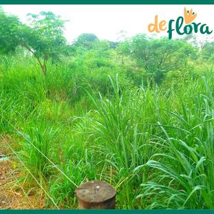 Deflora Reflorestamento (34).png
