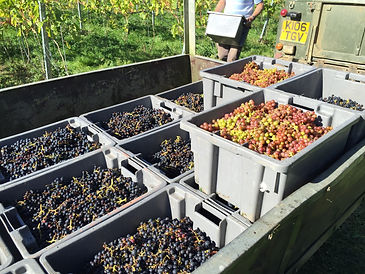 Crates of grapes on trailer