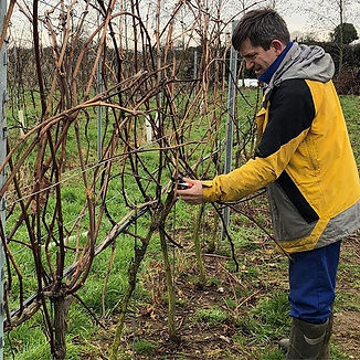 The winemaker pruning his vines