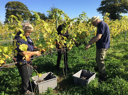 Wine club members harvesting grapes at Chet Valley Vineyard