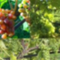 Schoenburger, Solaris and Phoenix grape varieties