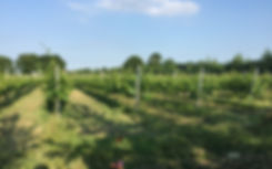 Chet and Waveney Valley Vineyard on a sunny day