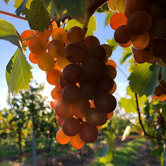 Schoenburger is one of the cool climate grape varieties planted at Chet and Waveney Valley Vineyard