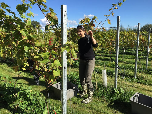 Volunteers are always welcome at Harvest time at Chet and Waveney Valley Vineyard