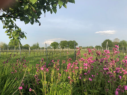 Red campion on Chet Valley Vineyard