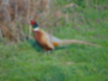 Pheasant on Vineyard