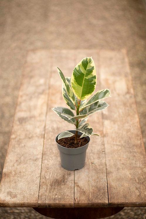 Ficus 'Elastica' hell