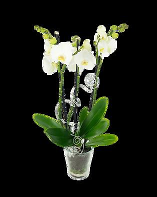 Glas Hasenwinkel (Orchidee)