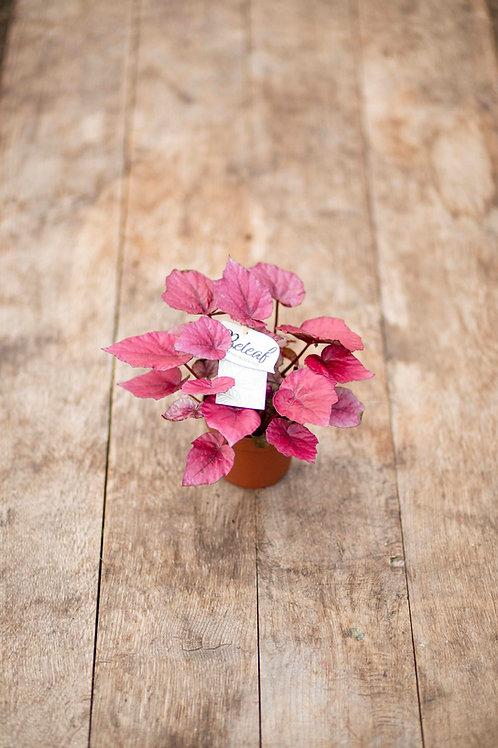Begonia 'Beleaf'