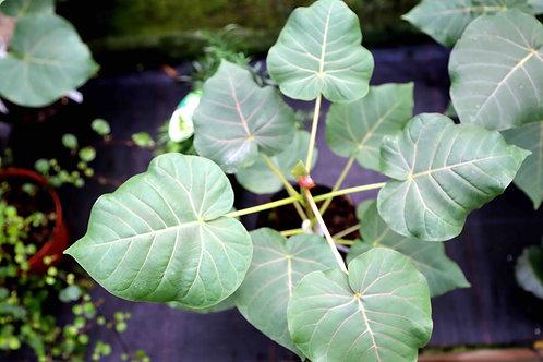 Ficus Petioloris