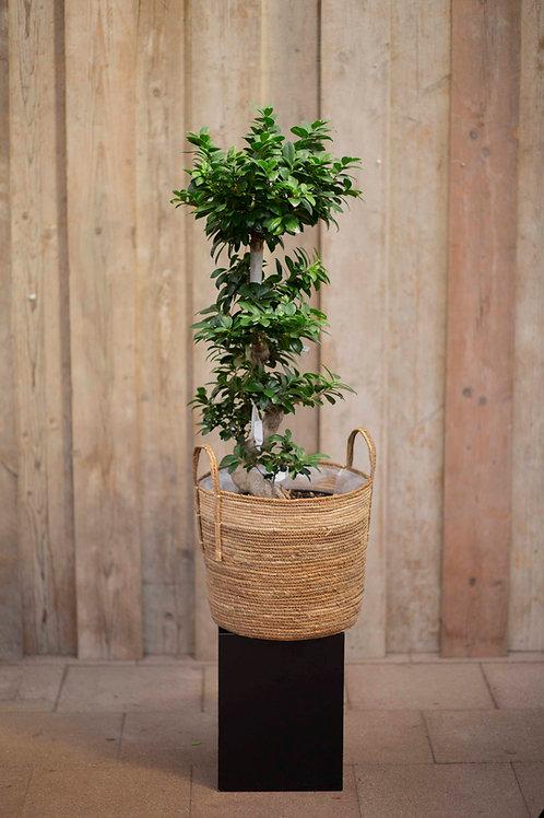 Ficus 'Microcarpa'