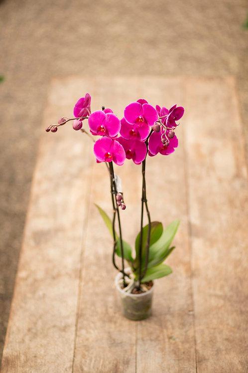 Lila Riesen-Orchidee