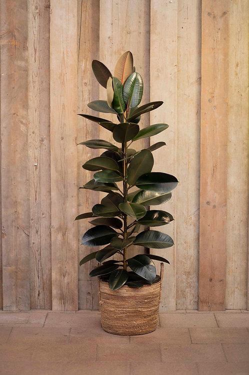 Riesen Ficus 'Elastica'