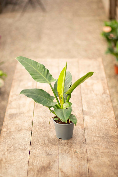 Philodendron 'Eburescens'