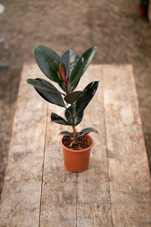 Ficus 'Elastica'
