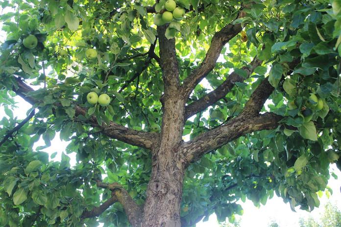 Der Weg vom Apfelbaum zur Bauermühle