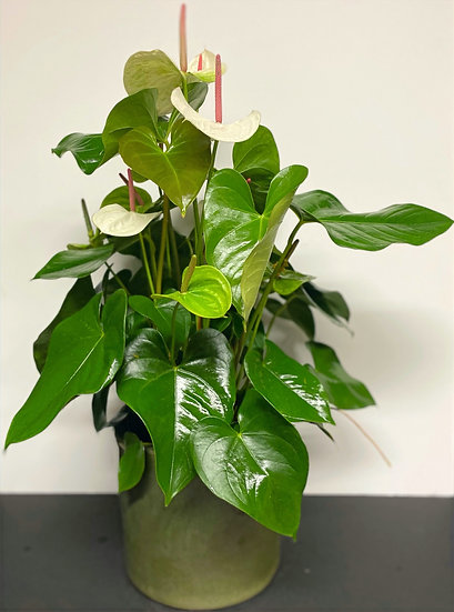 Supreme Size Potted Plant