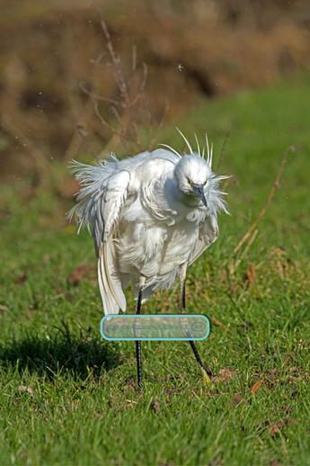 _DSC5446Scrawny-Egret.jpg