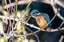 Wet European Kingfisher