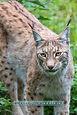 Lynx1web.jpg