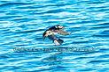 Puffin flight seabird Skomer South Wales