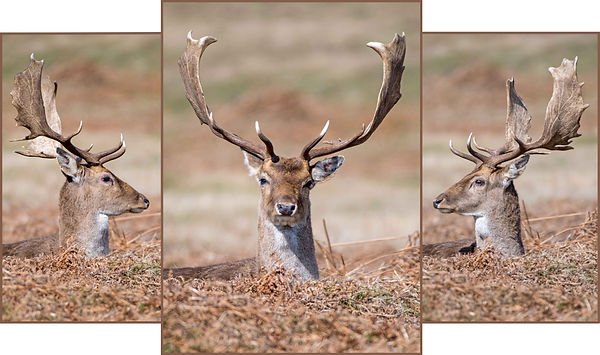 Fallow Deer Stag Stags Head Bradgate Park Collage