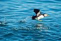 Puffin seabird Skomer