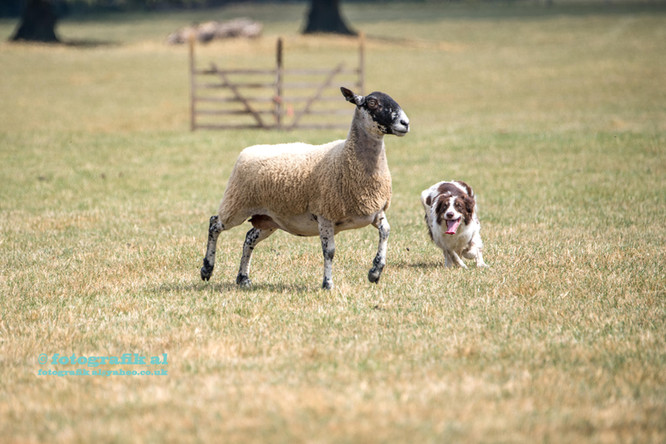 Husbands Bosworth Sheepdog Trials