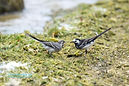 Pied Wagtail feeding chick