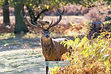 Red Deer Stag Bradgate Park Leicester