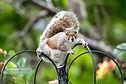 Grey Squirrel facing camera