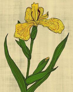 Iris - hand illustrated