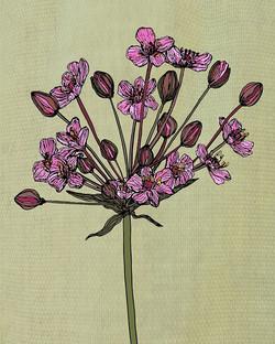 Flowering Reed..