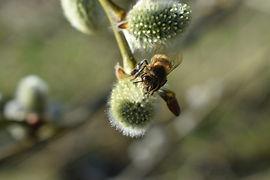 Bee collecting pollen.jpg