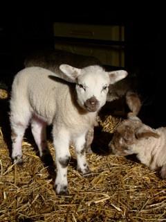 New baby lamb