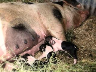 Piglets!