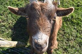 Close up goat.jpg
