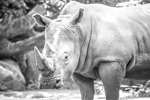 Rhino Black Rhinoceros Photography Art Print in Black and White